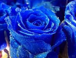 http://www.guibingzhuche.com/group/blue-roses-wallpapers/