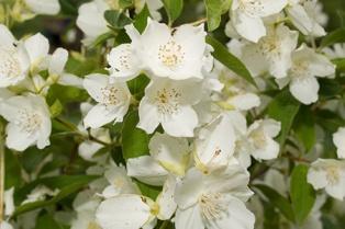 jasmine-white